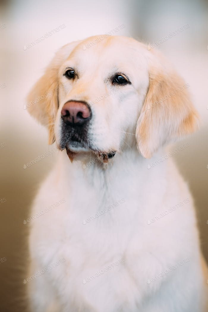 Young White Labrador Retriever Dog
