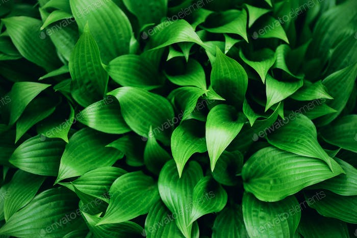 Green leaves texture. Tropical leaf background. Banner. Top view