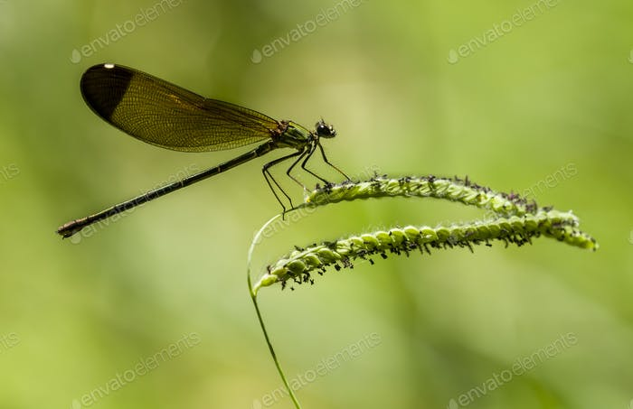 Female damselfly perched on a stick