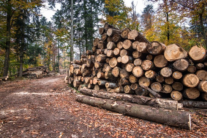 Holzernte. Viele Baumstämme liegen auf dem Boden im Wald