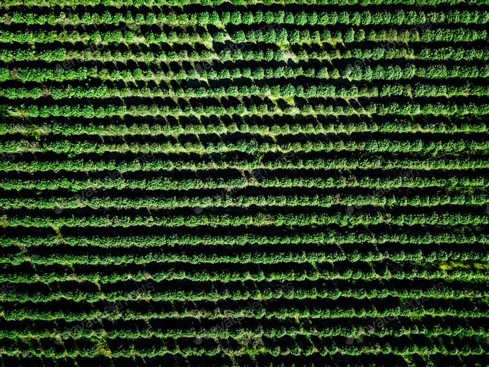 Aerial view of farmland and rows of crops.