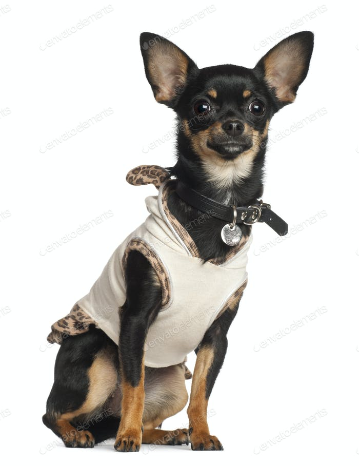 Chihuahua, 8 months old, sitting against white background