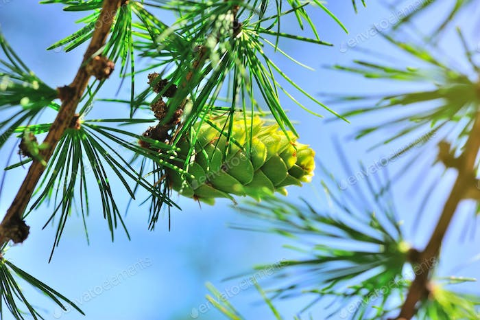 Young cone of larch tree against a background of blue sky
