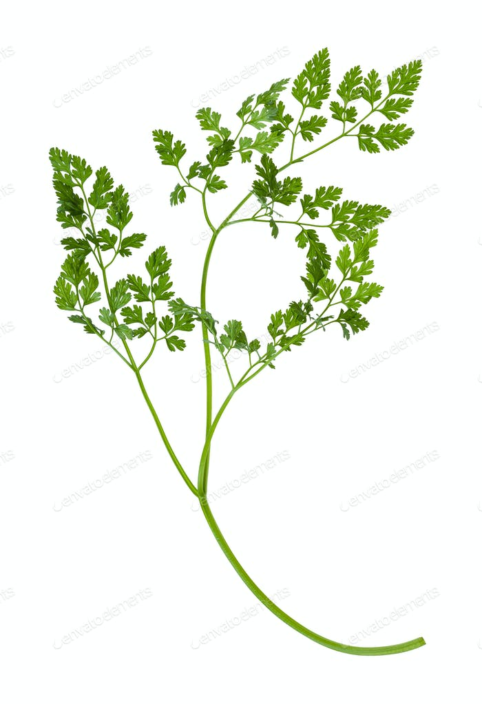 shoot of fresh Chervil herb isolated