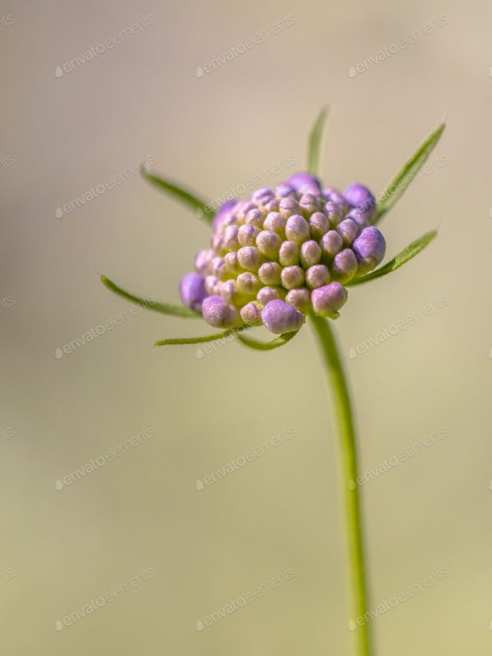 Field scabious blurred brown background