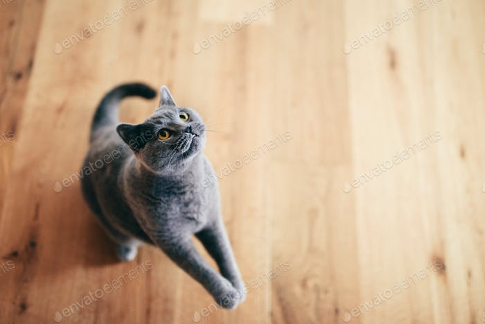 Cute British cat playing and having fun on the floor at home