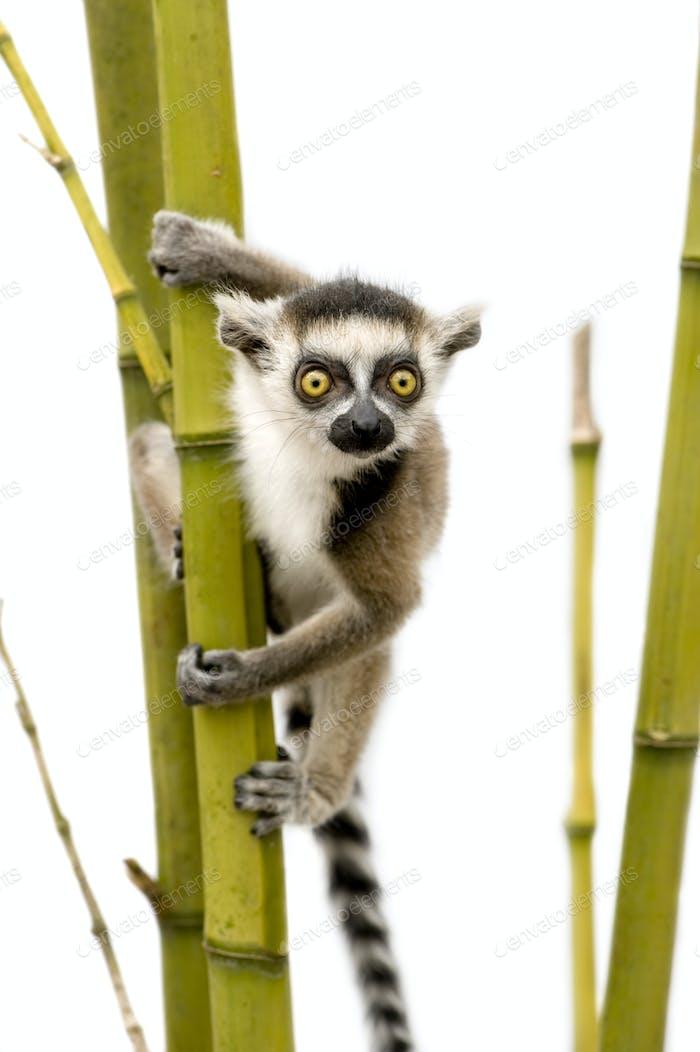 Ringschwanz-Lemur (6 Wochen) - Lemur catta