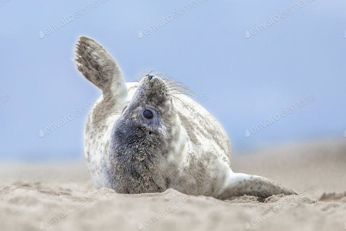 Comical common seal pup on beach