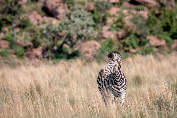 Zebra standing in the high grass.