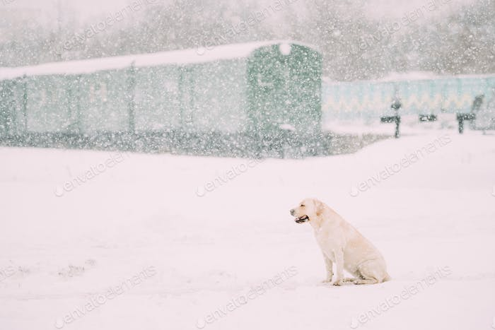 White Labrador Dog Sit In Snow, Winter Season