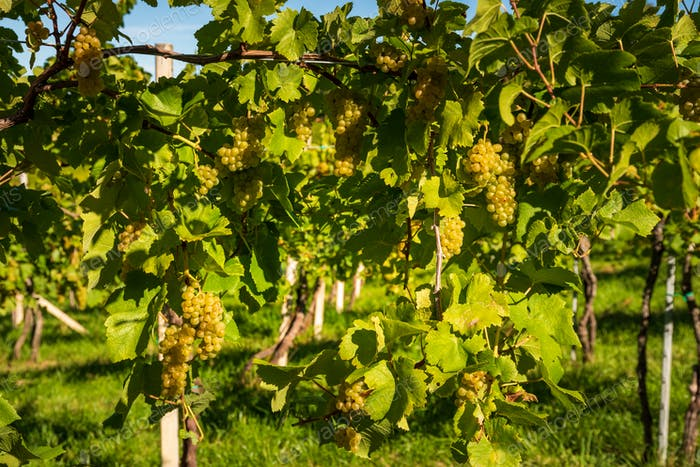 Crops of white grapes with green leaves on the vine. fresh fruits. Harvest time early Autumn