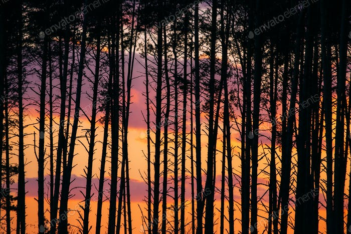Sunset Sunrise In Pine Forest. Close View Of Dark Black Spruce T