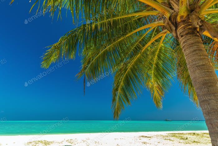 Single vibrant coconut palm tree on a white tropical beach, Mald