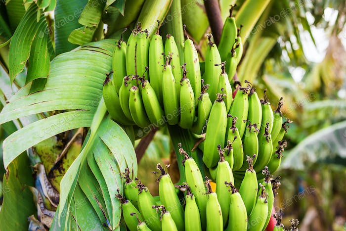 Green banana bunch on the banana plantation