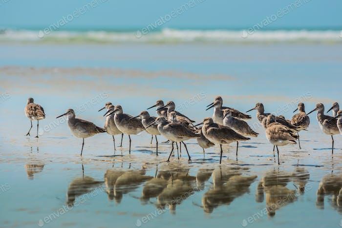 Willet Vögel von Florida