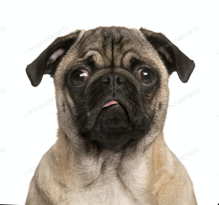 Pug puppy making a face, isolated on white