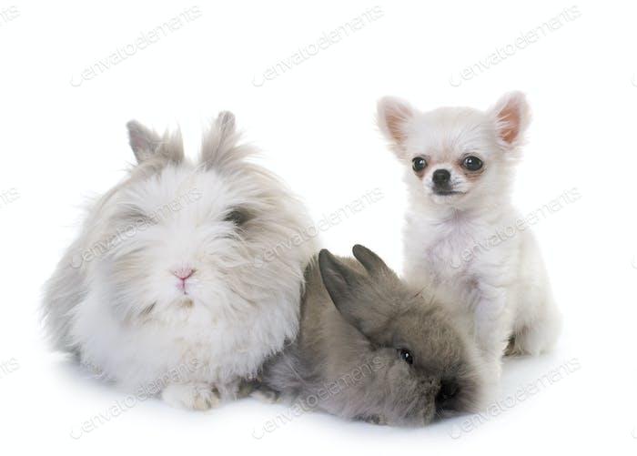 Zwergkaninchen und Welpen Chihuahua