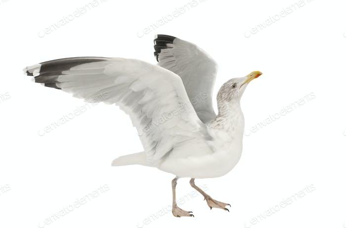 European Herring Gull, Larus argentatus, 4 years old, walking against white background