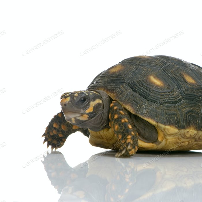 Red-footed tortoise -  Geochelone carbonaria