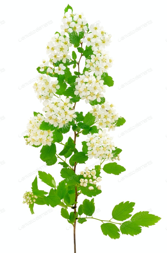 The branch of bird-cherry tree (Prunus padus)