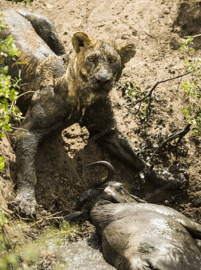Thumbnail for Dirty lioness lying next to its prey, Serengeti, Tanzania, Africa