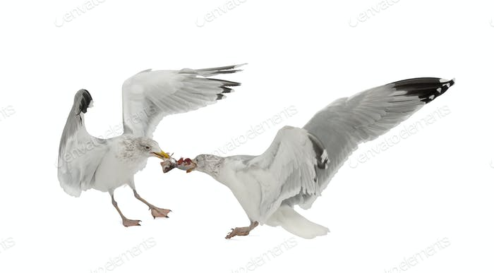 European Herring Gulls, Larus argentatus, 4 years old, fighting over fish flying