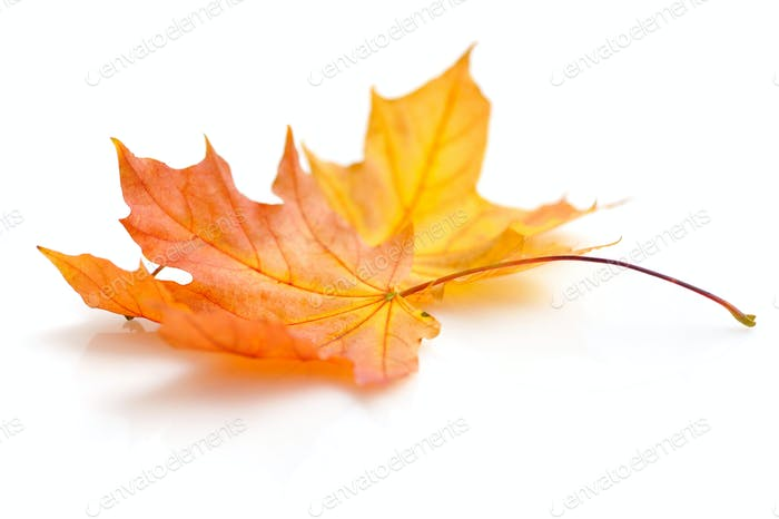 Autumn maple leaves isolated on white background
