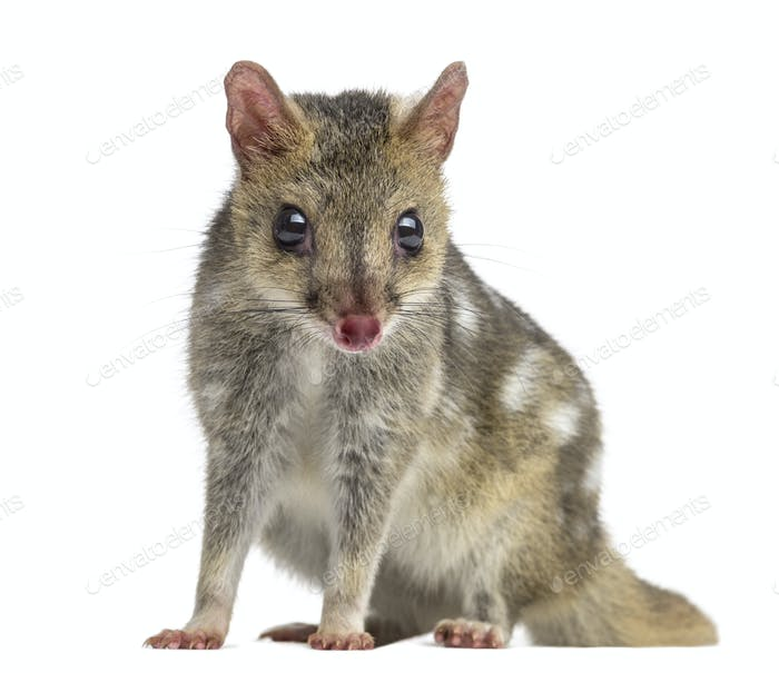 Quoll looking at the camera, isolated on white