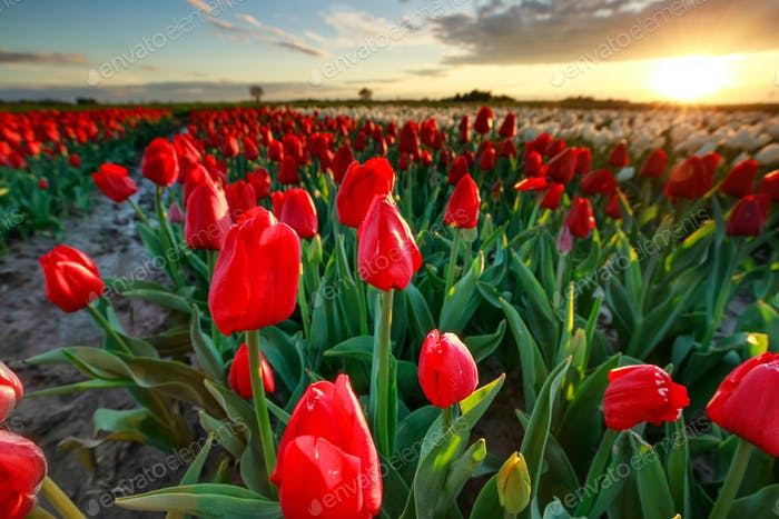 beautiful red tulips close up at sunset
