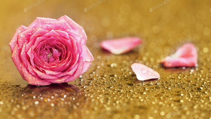 Pink rose flower on golden background