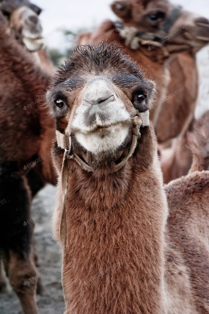 Close up funny camel face. Scenery with domestic animals