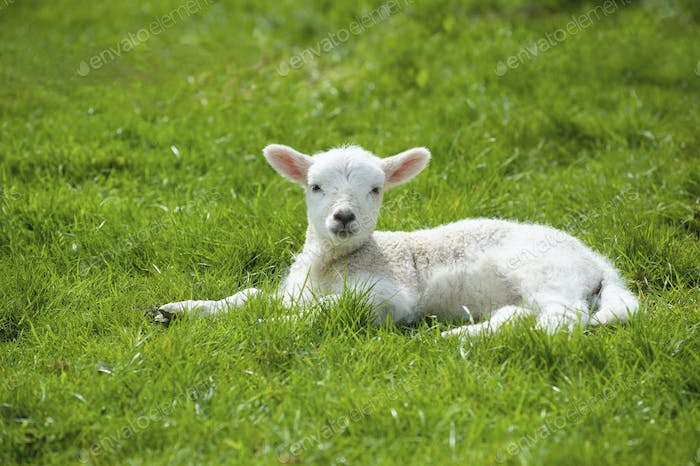 A small young lamb with white fur, lying on the grass with its head up