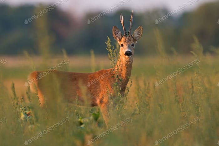 Roe deer standing on the hay field from side view with space for text