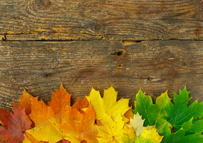 Red, yellow and green maple leaves on old wooden background