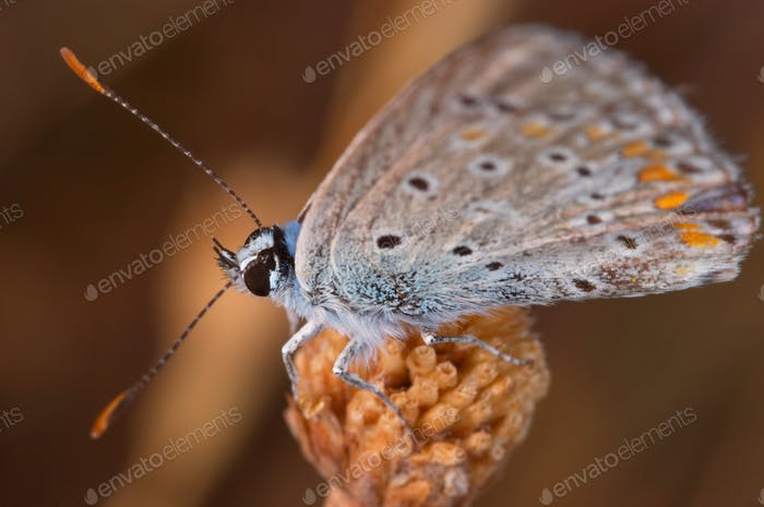 Butterfly (Polymmatus Icarus)