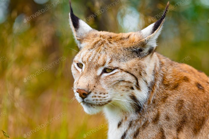 Close-up of eurasian lynx hunting in forest at summer