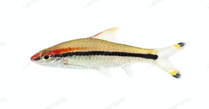 Side view of a Denison barb, Sahyadria denisonii, isolated on wh
