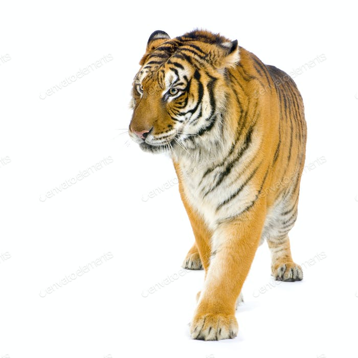 Tiger walking