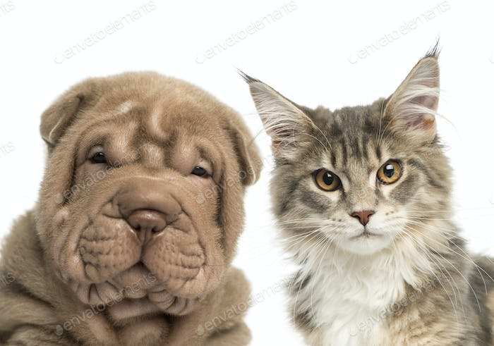 Close-up of a Maine coon kitten and Shar Pei puppy looking at the camera