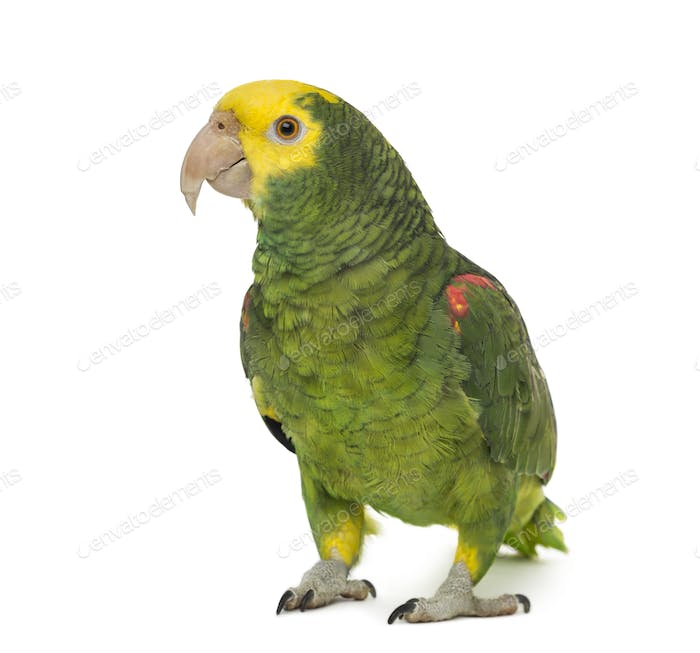 yellow-headed amazon, Amazona oratrix, in front of a white background