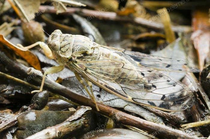 Zikaden-Insekt
