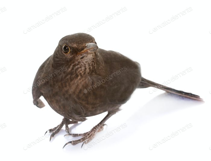 female Common blackbird
