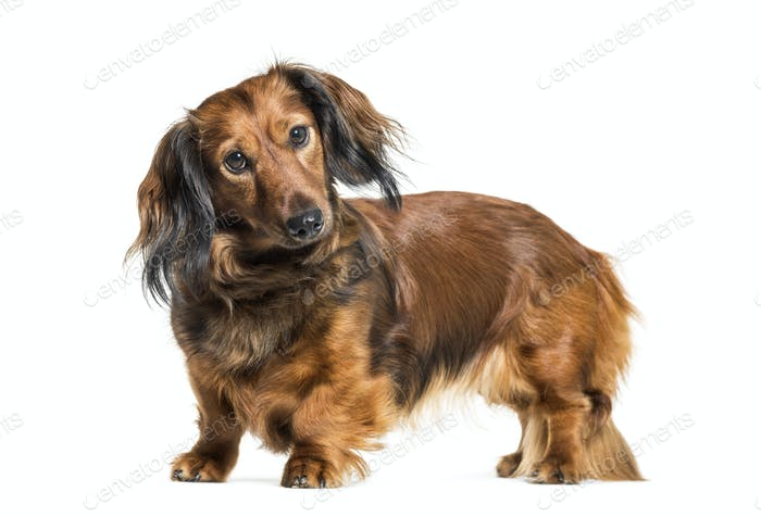 Dachshund, sausage dog, wiener dog in front of white background