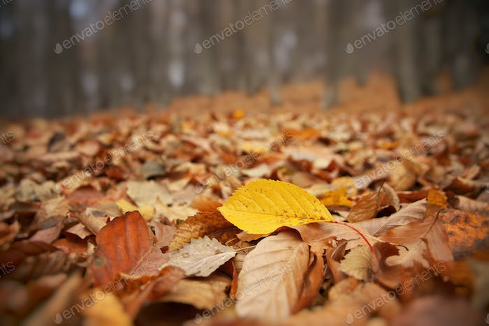 Autumn leaves on the forest ground.
