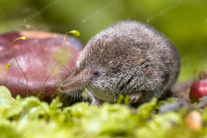 Eurasian pygmy shrew natural habitat