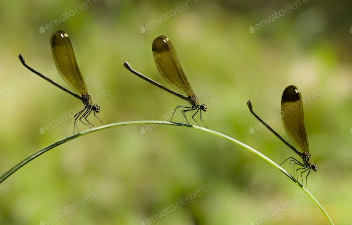 Three Female damselfly perched on a blade of grass