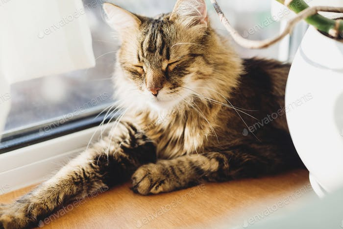 Cute tabby cat lying on wooden window sill in warm sunny light and relaxing