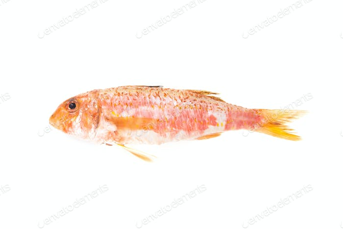 Red Mullet mediterranean fish. Raw food