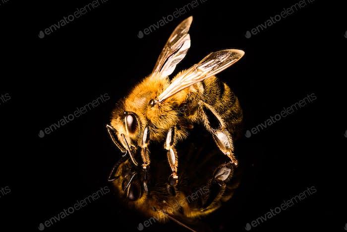 Honigbiene Makro, isoliert auf schwarzem Hintergrund. Biene Konzept
