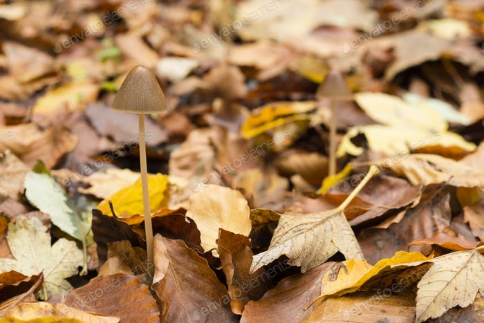 Mushroom growing on ground of a Beech forest